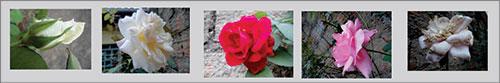 Rosas-ii